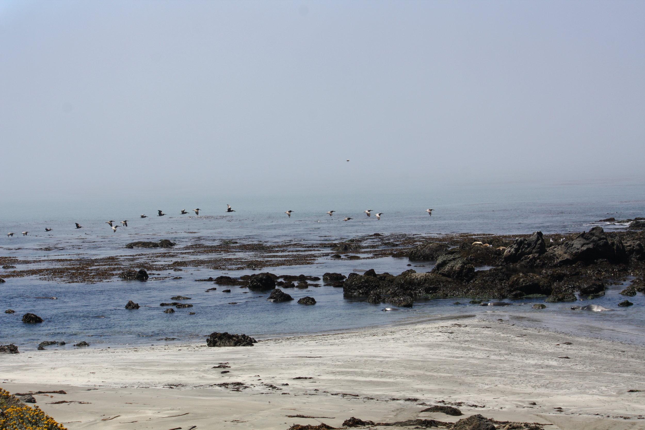 Pelicans and Elephant Seals at San Simeon