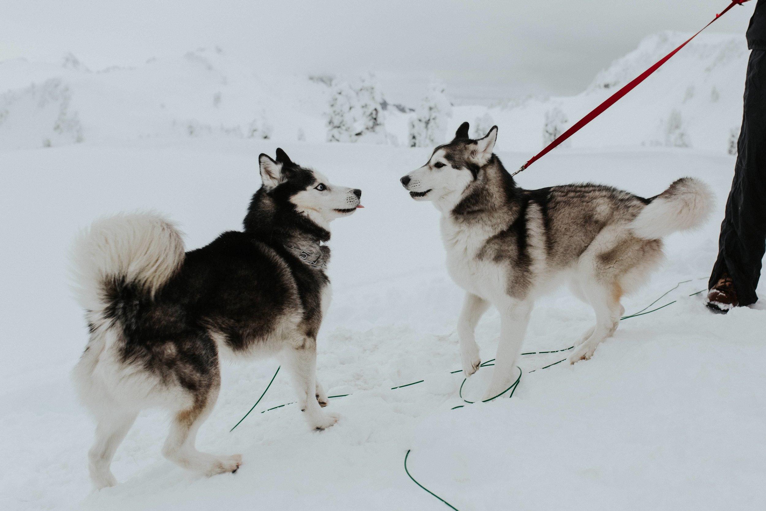adventure-wedding-photographer-artist-point-snow-camping-elopement-photographer-huskies.jpg