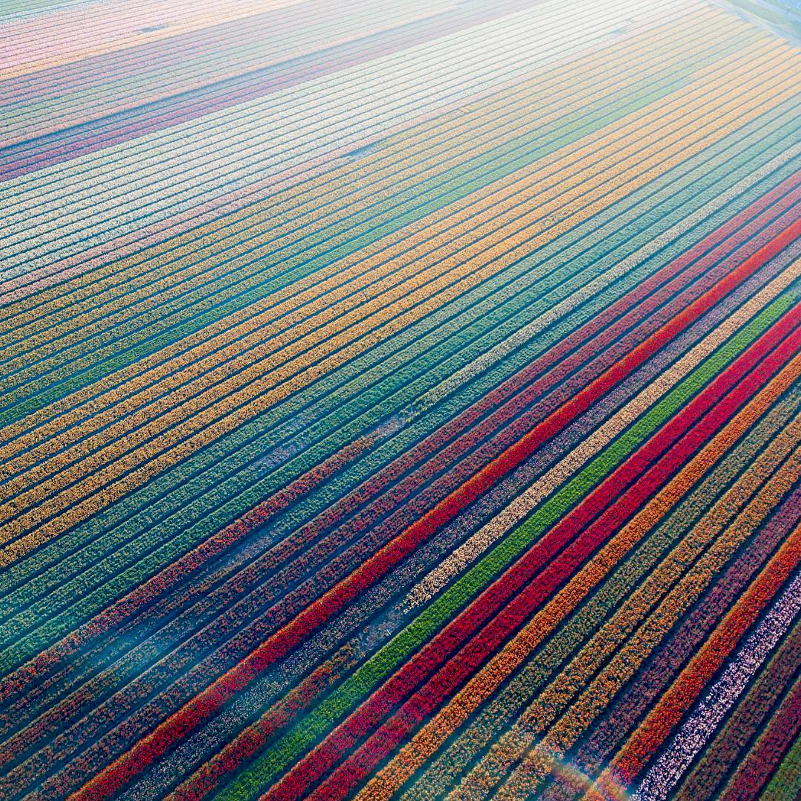 """We're excited to launch a new series called """"Drone Sundays"""" that will feature some of the best shots from our friends over at From Where I Drone. Today's post shows tulip fields in Lisse, Netherlands, which begin to bloom in March and are in peak bloom by late April. The Dutch produce a total of 4.32 billion tulip bulbs each year.  52°16'34.9""""N 4°33'25.5""""E  Source imagery: Dronewise"""