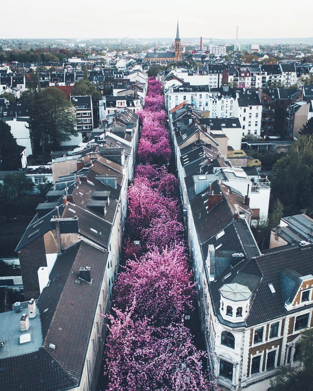 """Check out this beautiful image of """"Cherry Blossom Avenue"""" in Bonn, Germany. Every spring, this street — officially known as Heerstraße — is transformed into a bright pink tunnel as ornamental Japanese Cherry Blossoms bloom. The trees were planted in the 1980s and attract thousands of tourists every season.  50°44'20.3""""N, 7°05'30.6""""E  Source imagery: Lennart Pagel Photography"""