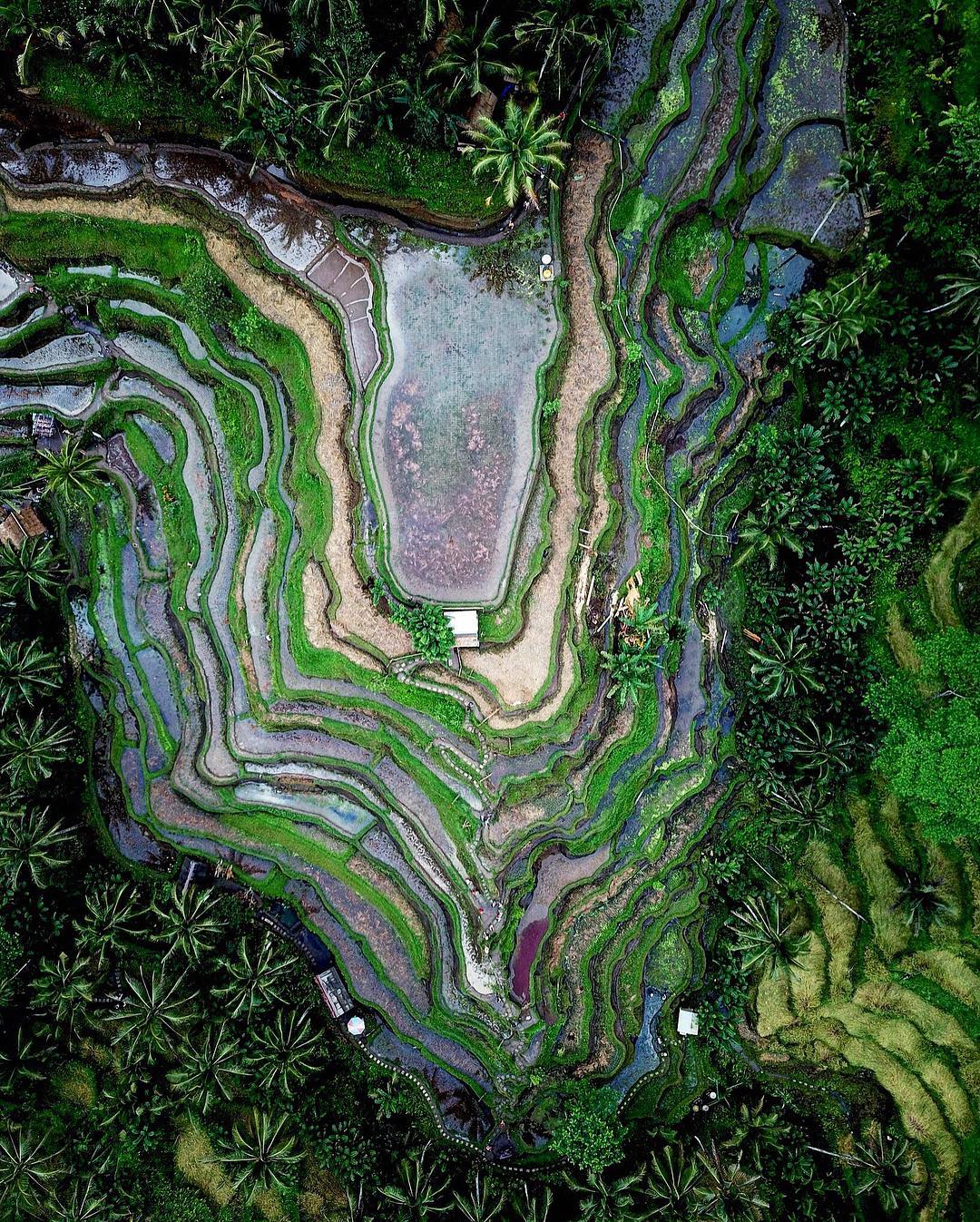 """Our founder, Benjamin Grant,used a drone to capture this view of the Tegallalang Rice Terraces in Bali, Indonesia. Farming with these graduated steps makes it possible to grow crops on hilly terrain and effectively decreases both erosion and surface runoff.  8°26'02.5""""S, 115°16'46.3""""E  Source imagery: Benjamin Grant"""