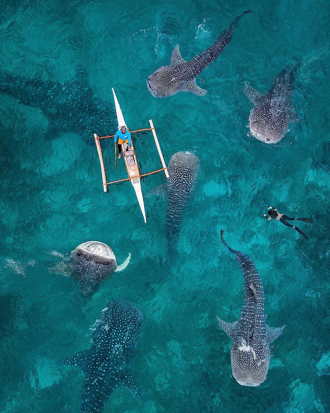 """Check out this week's """"Drone Sunday"""" post from From Where I Drone, which shows a shiver of whale sharks being fed by divers off the coast of Cebu Island in the Philippines. In recent years, these friendly sharks have attracted mass tourism to the island; however, several exploitative acts committed by tourists and locals have raised concerns about the animal's welfare and even prompted protective actions from the Philippines Government. Follow From Where I Drone for more amazing drone photography!  9°27'38.6""""N, 123°22'48.8""""E  Source imagery: @karanikolov"""
