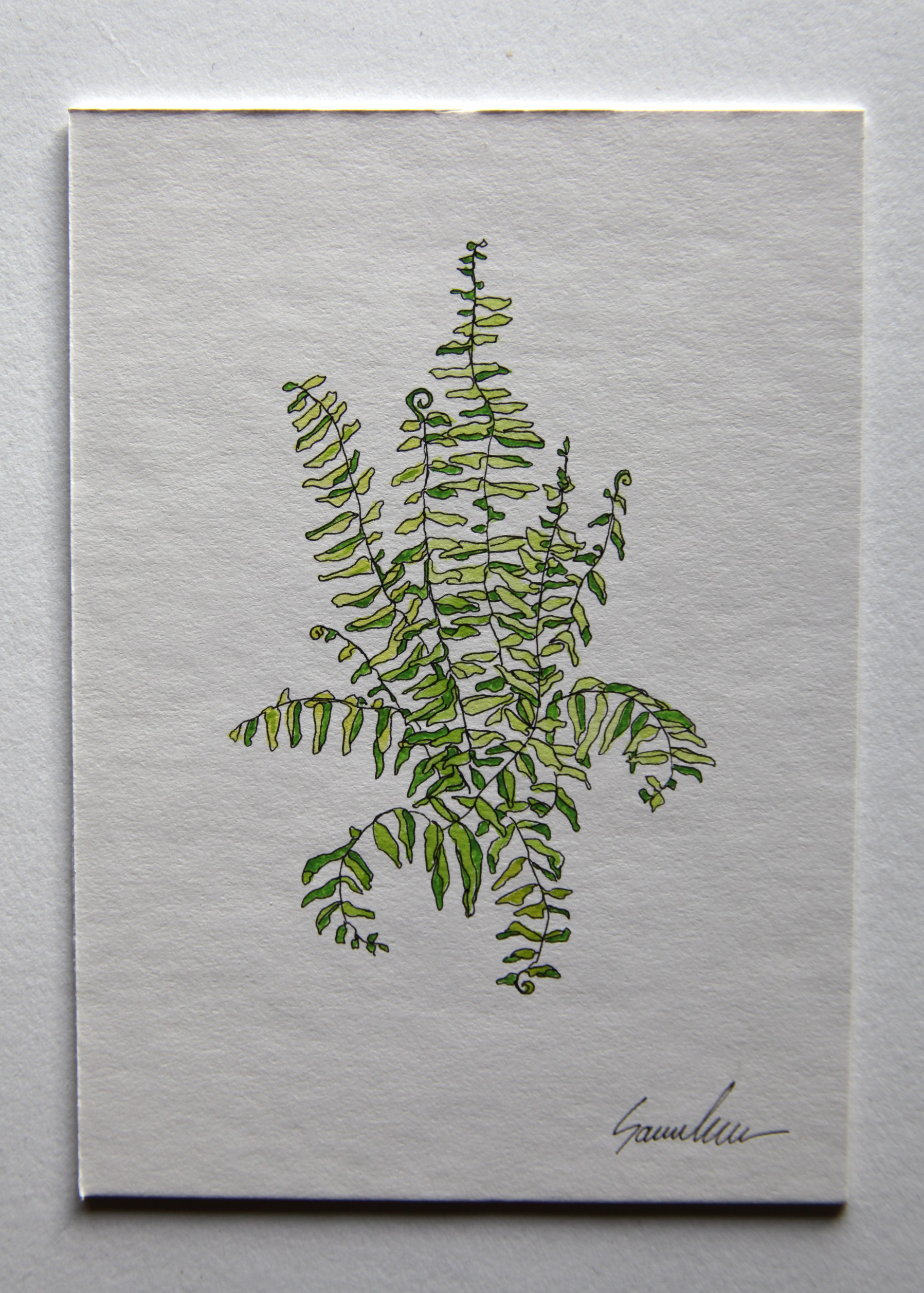 Rock Cap Fern