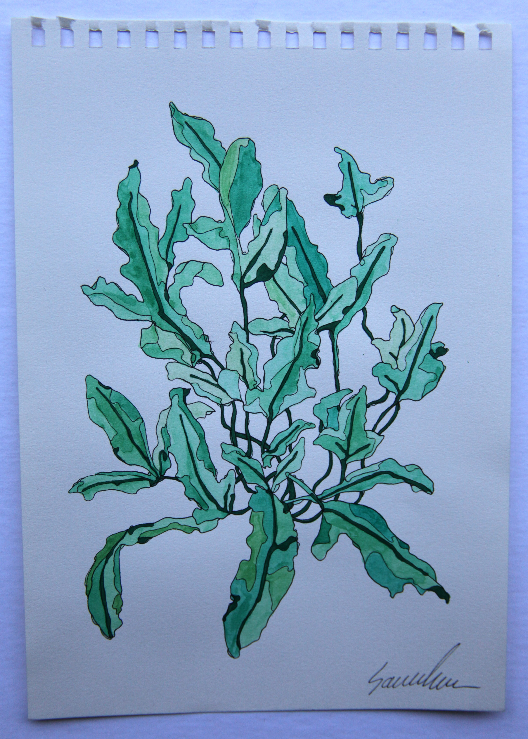 Blue Star Fern