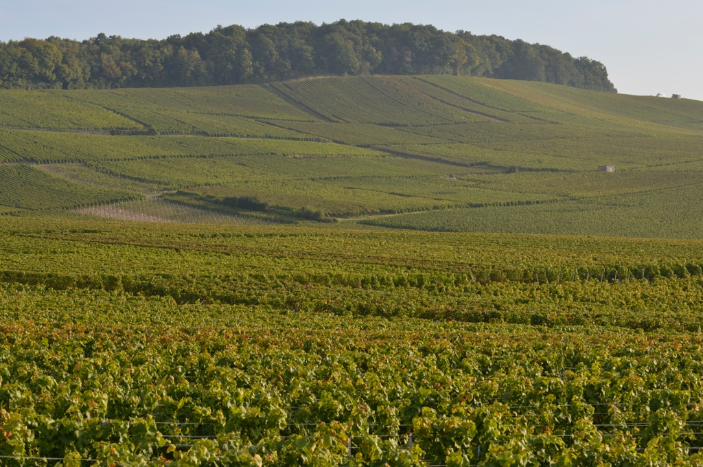 Les Vignes avant les vendanges  (Photo TLQ)
