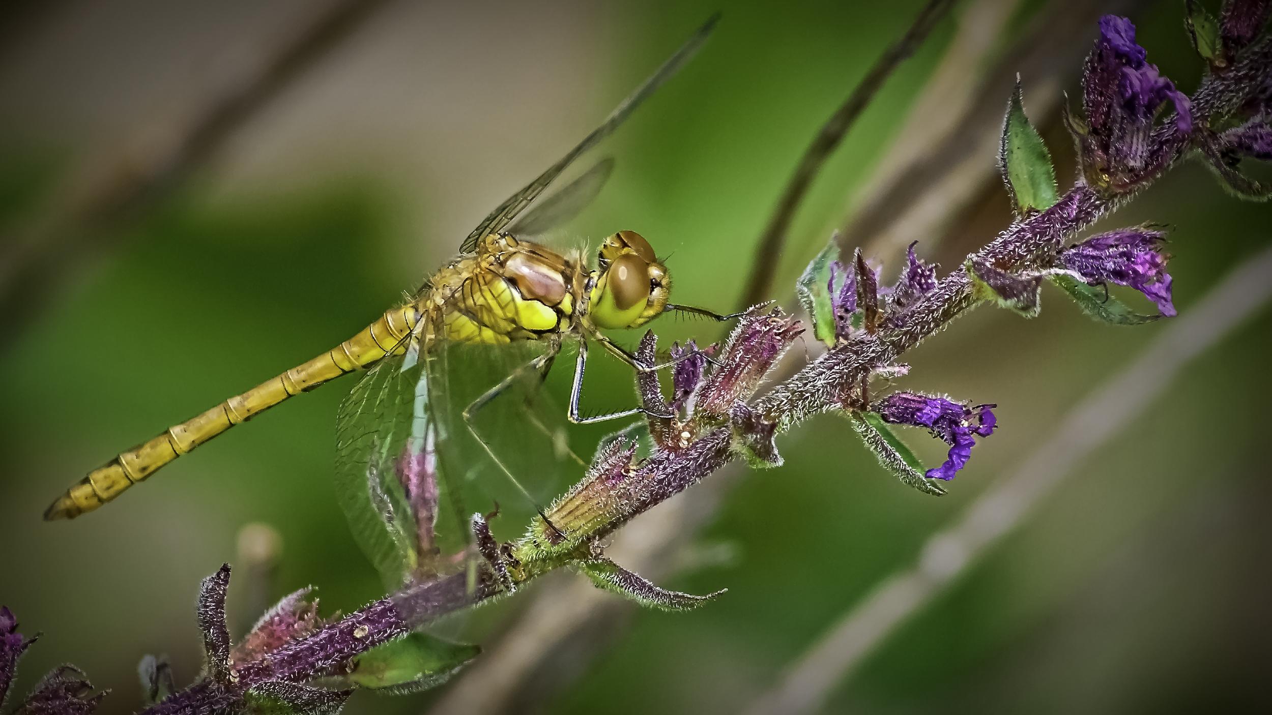 Darter Dragonfly