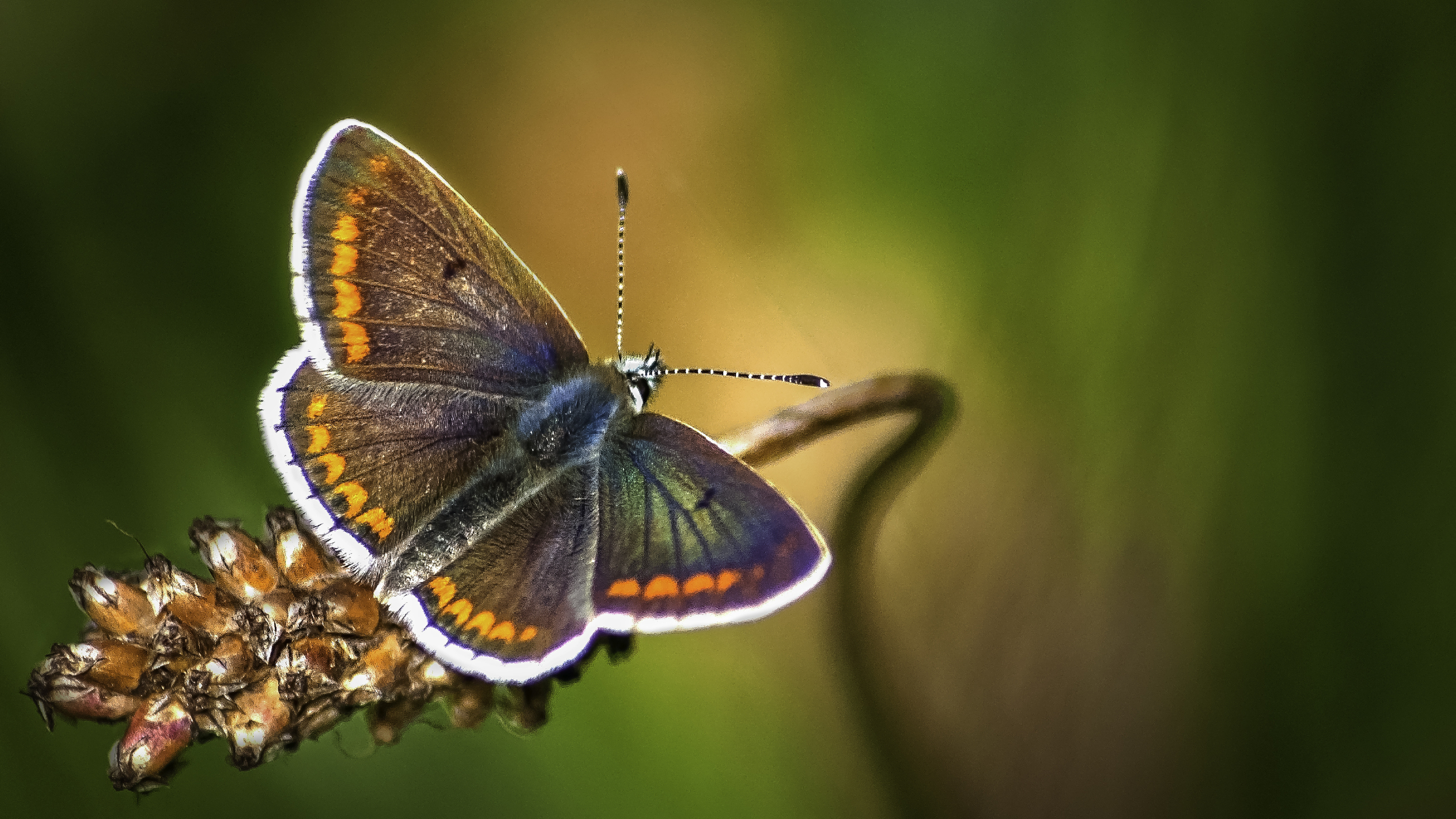 Northern Brown Argus Butterfly