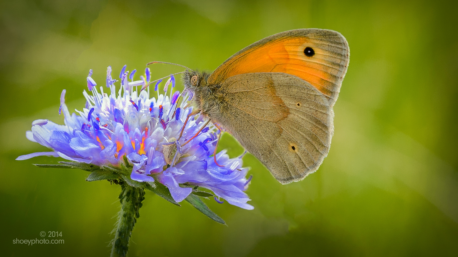 The Meadow Brown Butterfly