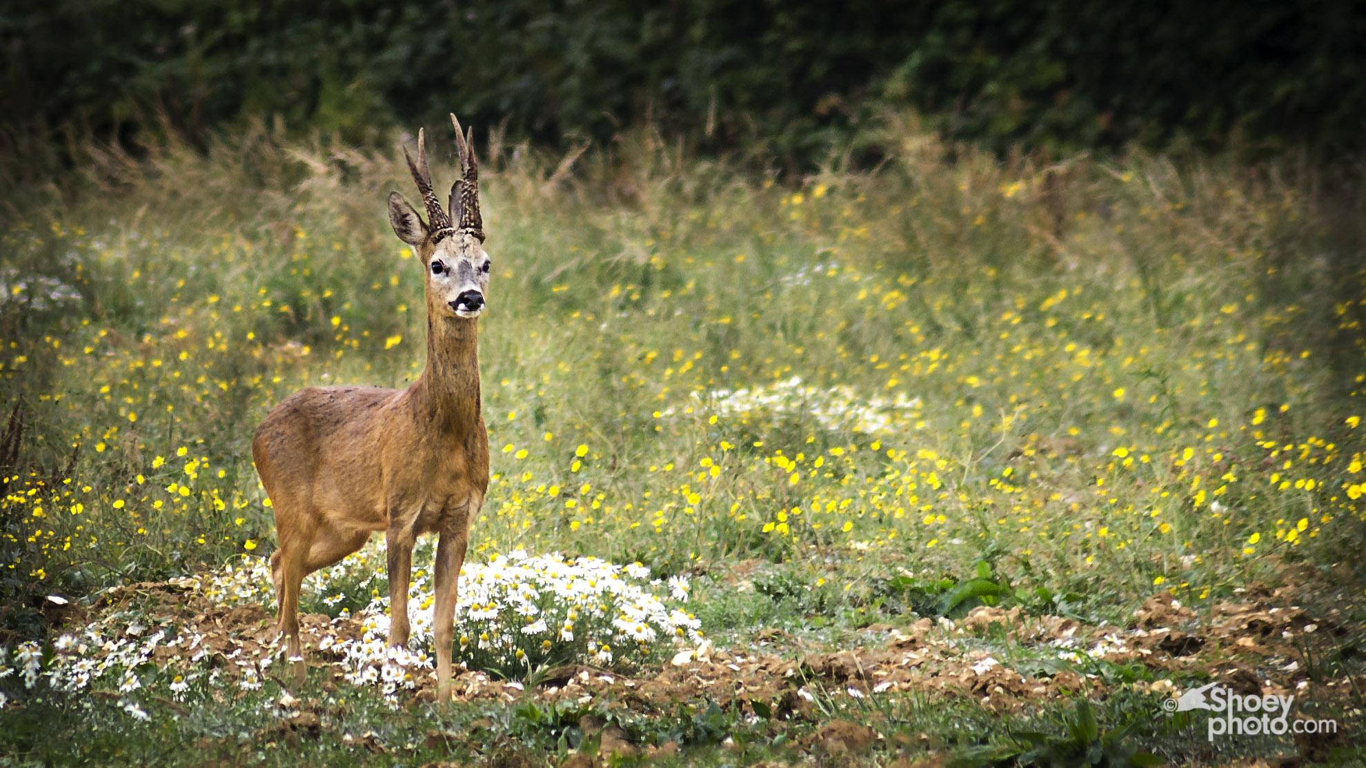 Roe Deer  (Clickimage toenlarge)