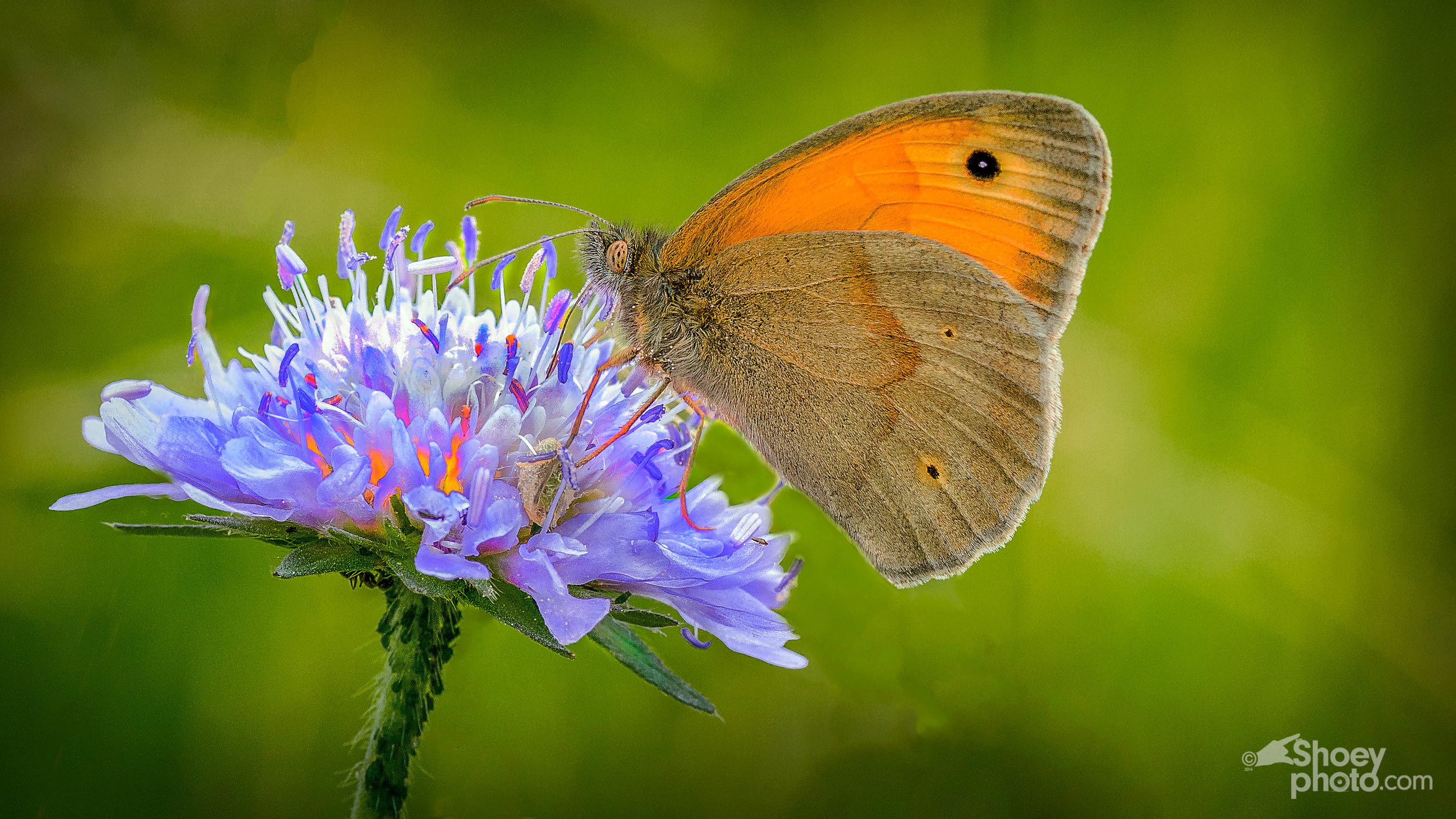 Meadow Brown Butterfly   (Click  image toenlarge)