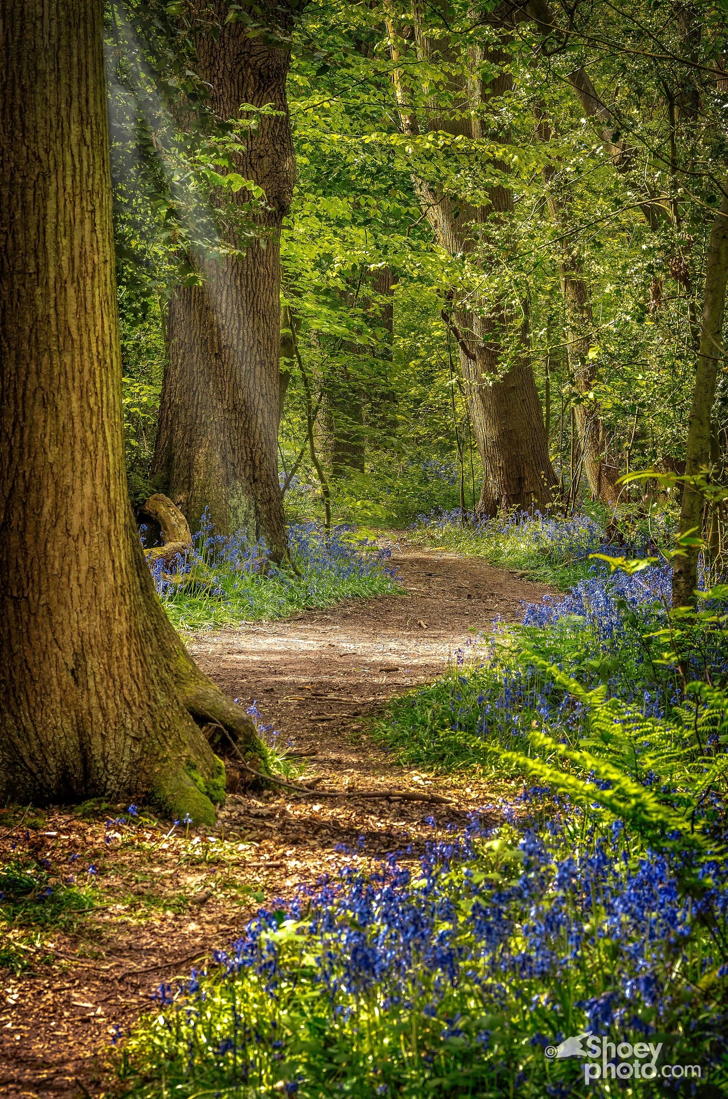 One of the woodland paths.  (Click   image toenlarge)