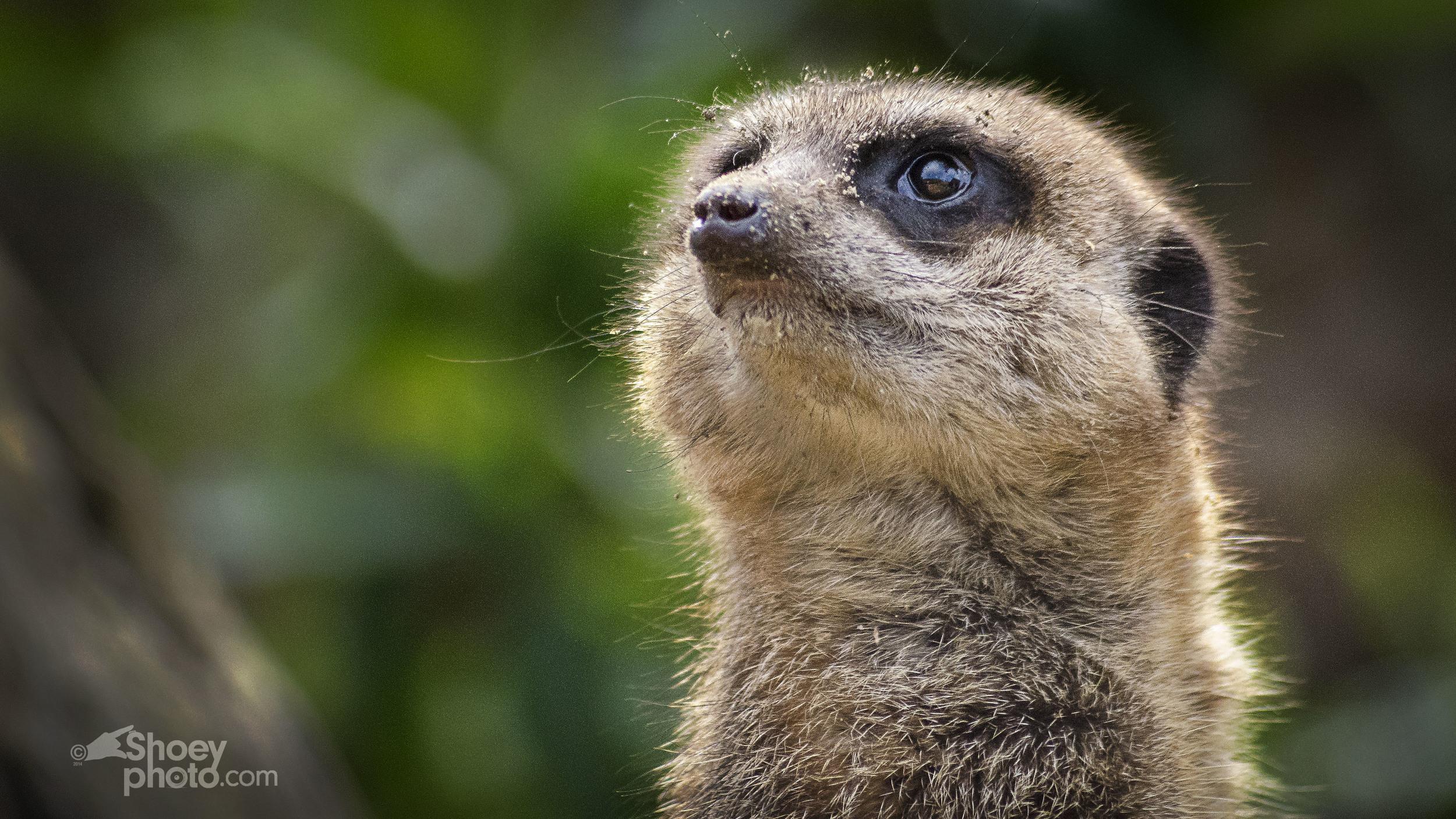 A Meerkat (Click  image toenlarge)