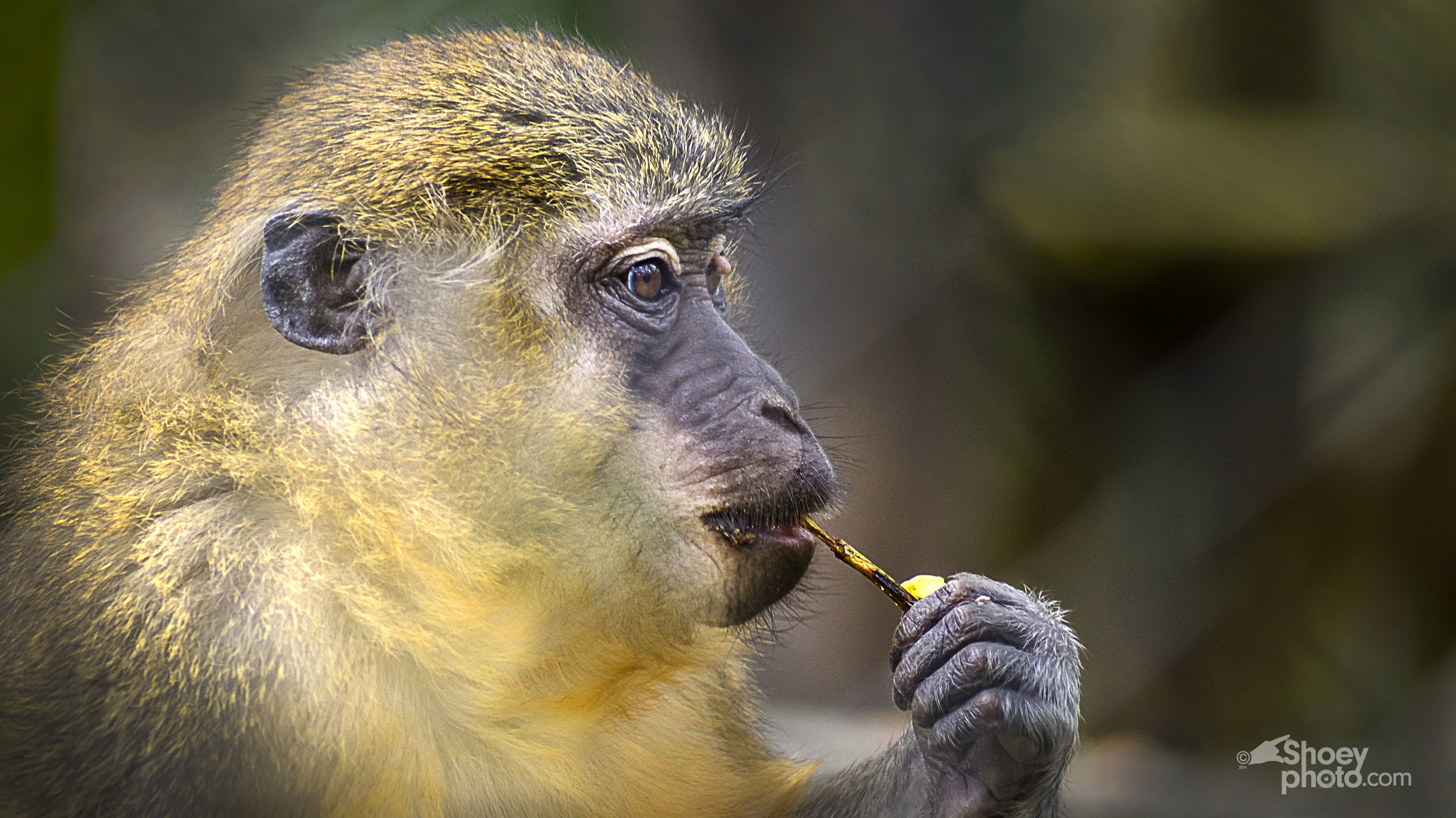A Baboon (Click  image toenlarge)