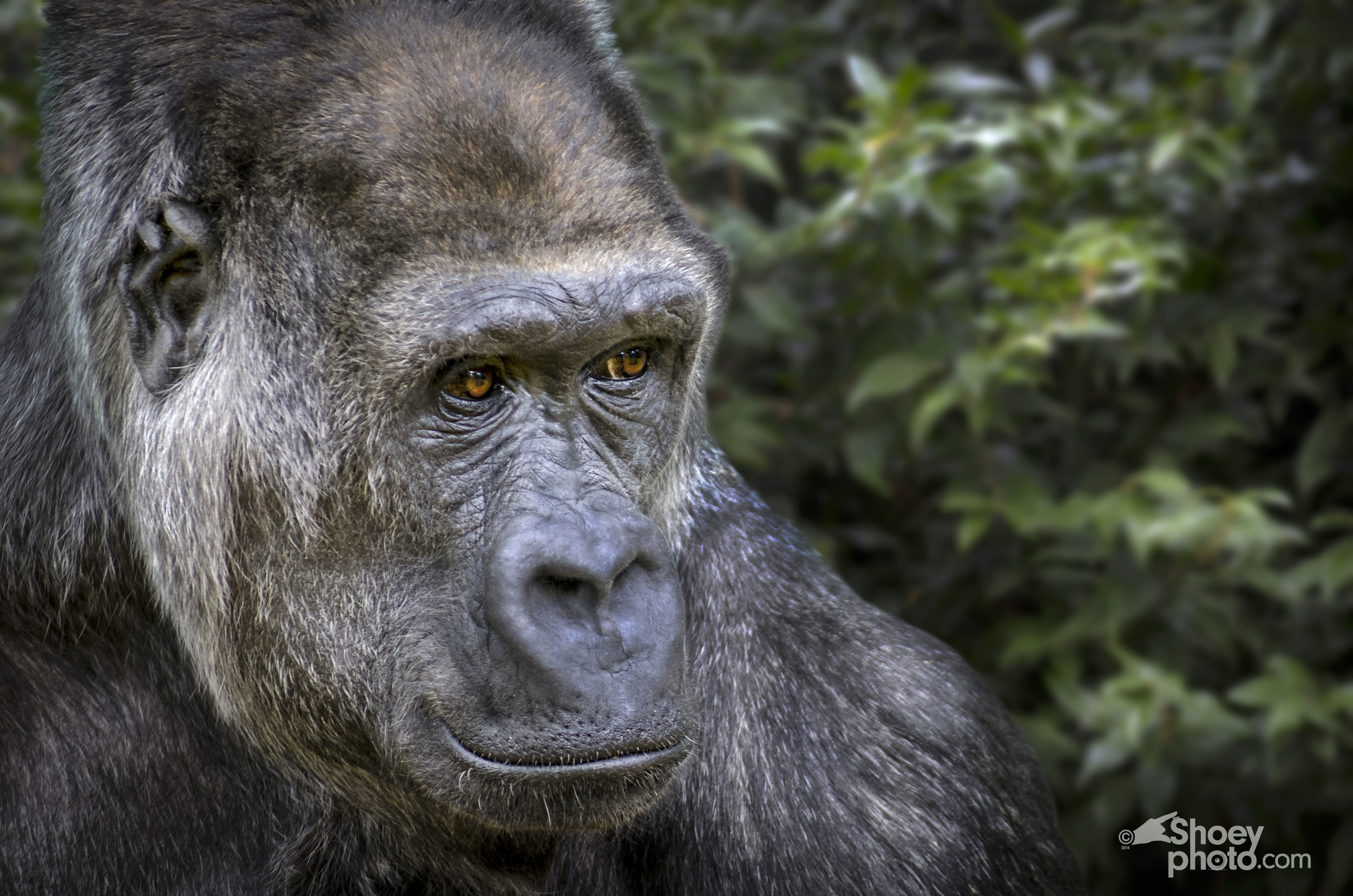 A Gorilla (Click  image toenlarge)