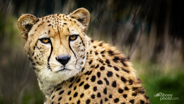 A Cheetah (Click  image toenlarge)