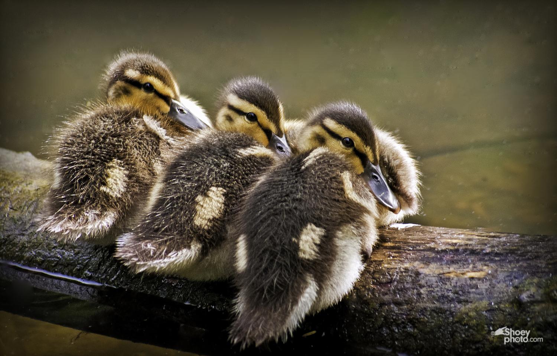 3+Ducklings+Crop-Edit copy.jpg