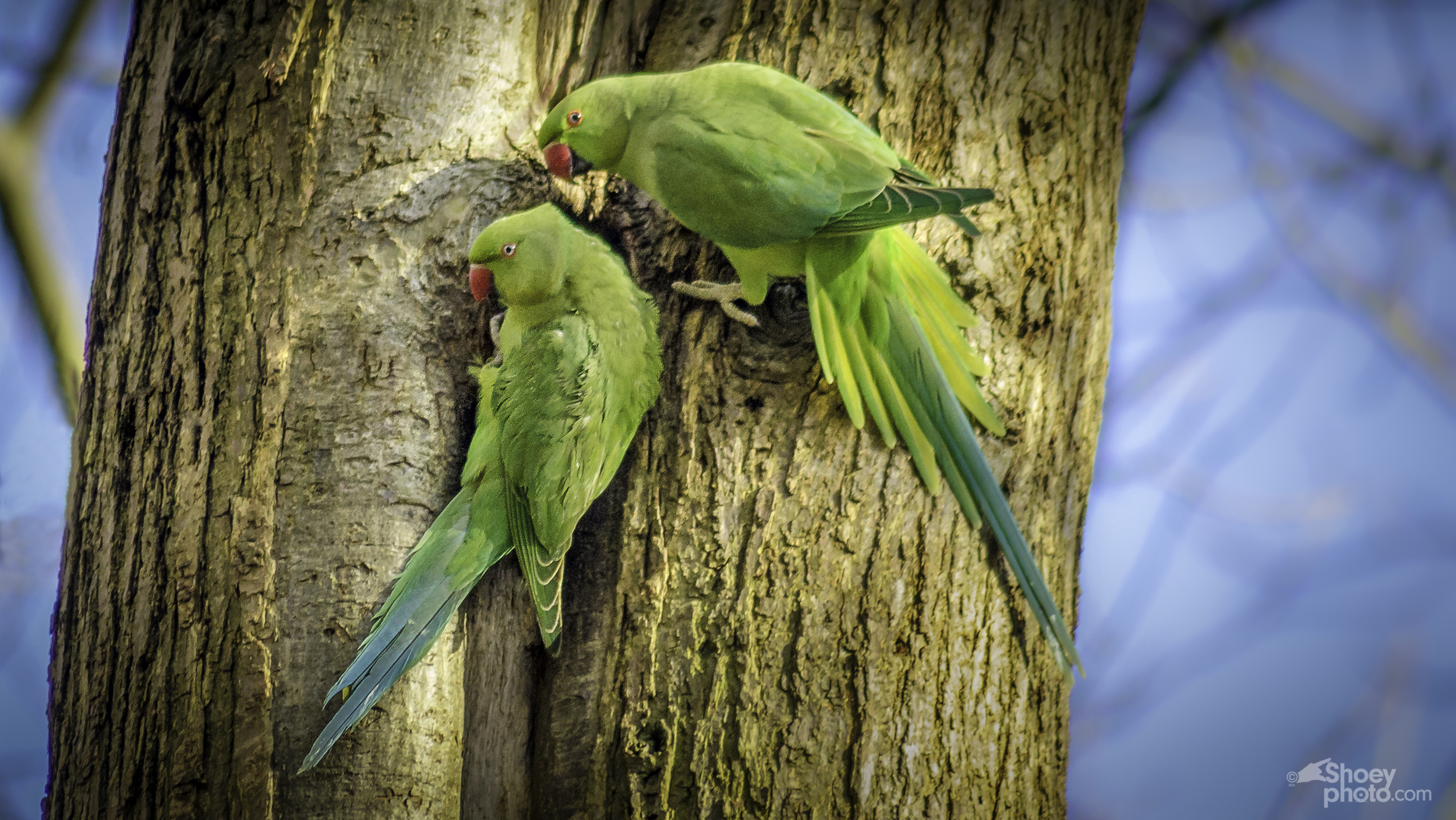 Parakeets in London