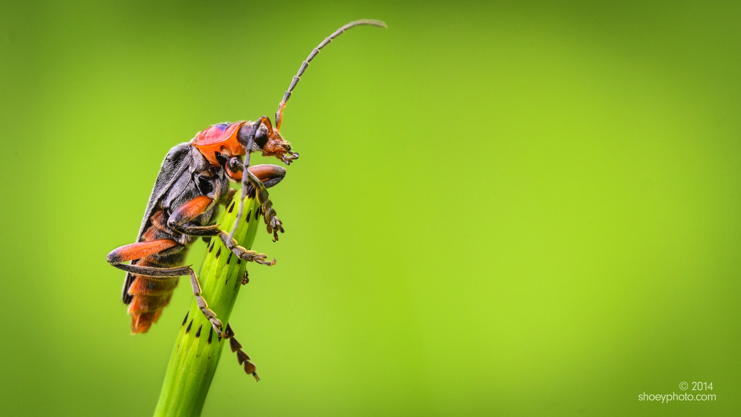A Soldier Beetle