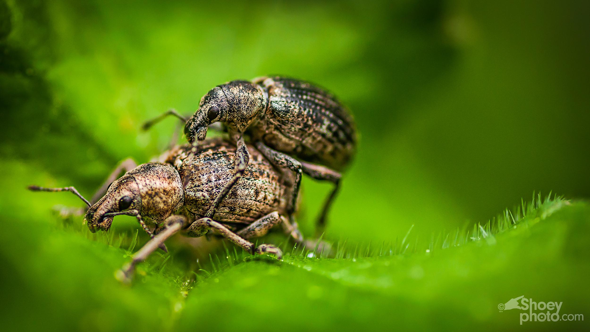 Weevils.jpg