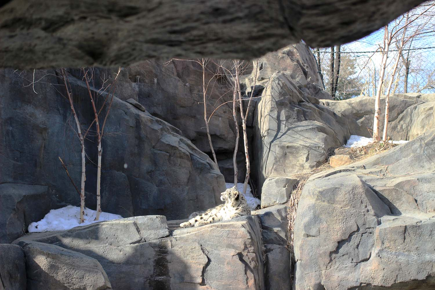 Snow Leopard Cub at Central Park Zoo; Image:  Laura Messersmith