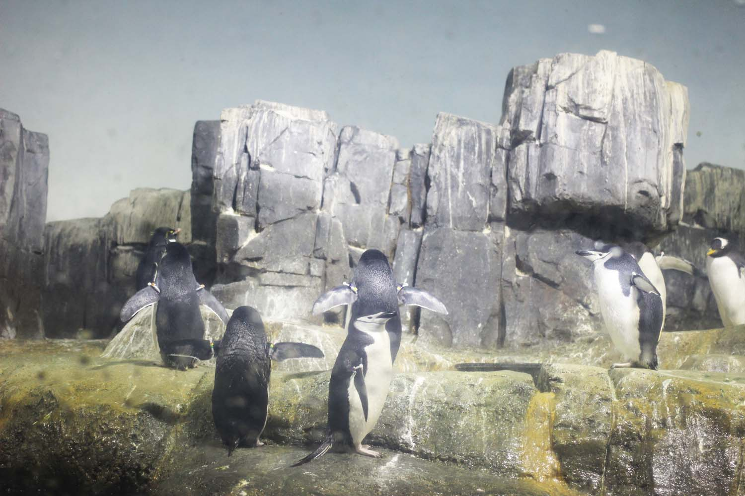 Penguins at Central Park Zoo; Image:  Laura Messersmith