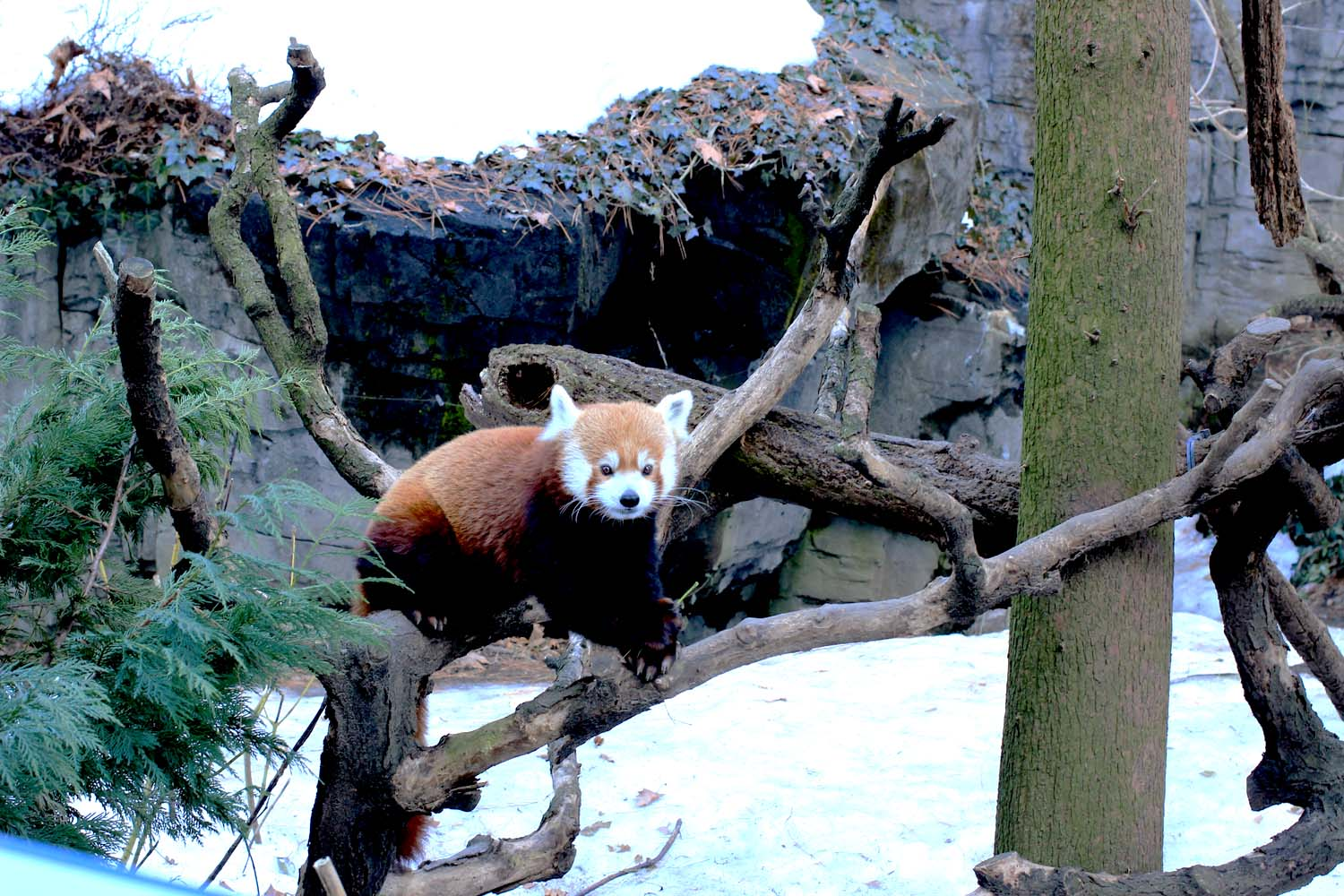 Red Panda at Central Park Zoo; Image:  Laura Messersmith