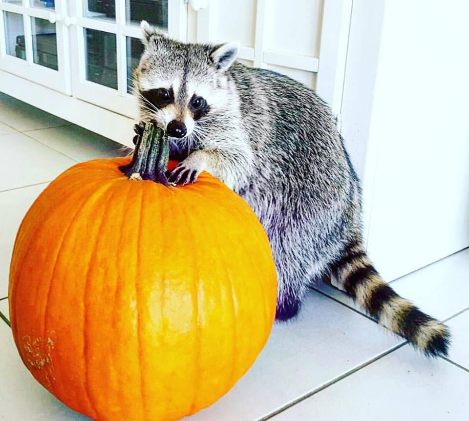 Pumpkin the Raccoon | Image: Rosie Kemp