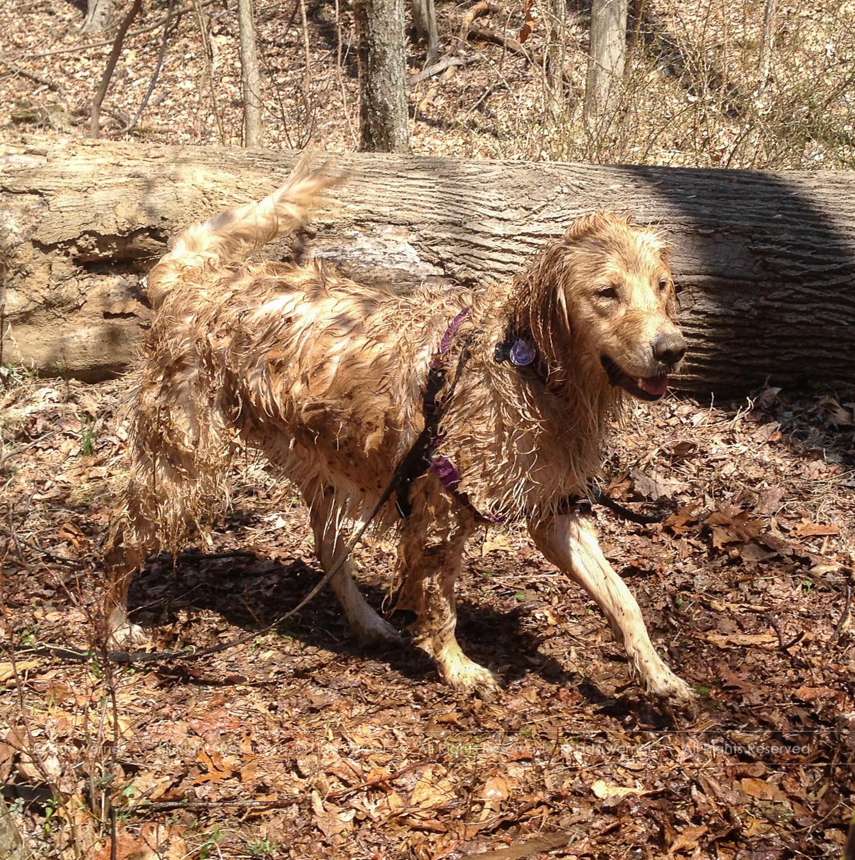 Happy, wet, muddy dog