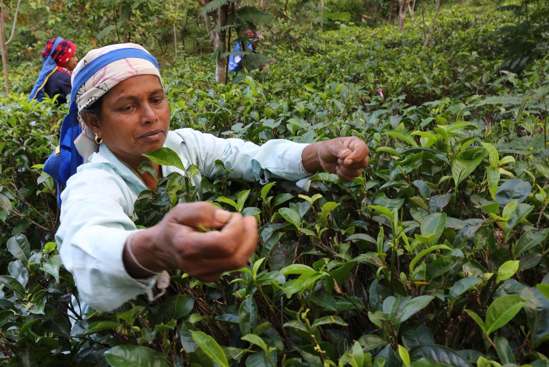 Tamil and Sinhalese workers pick tea at Amba Estate. Ambadandegama Valley, Sri Lanka