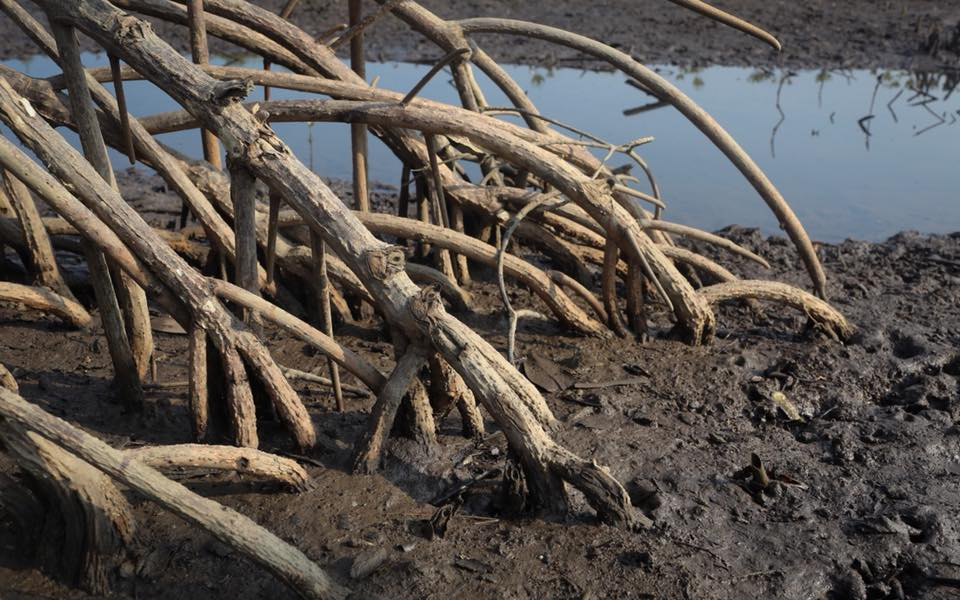 Mangrove roots in the Irrawaddy Delta region. Feb 2018