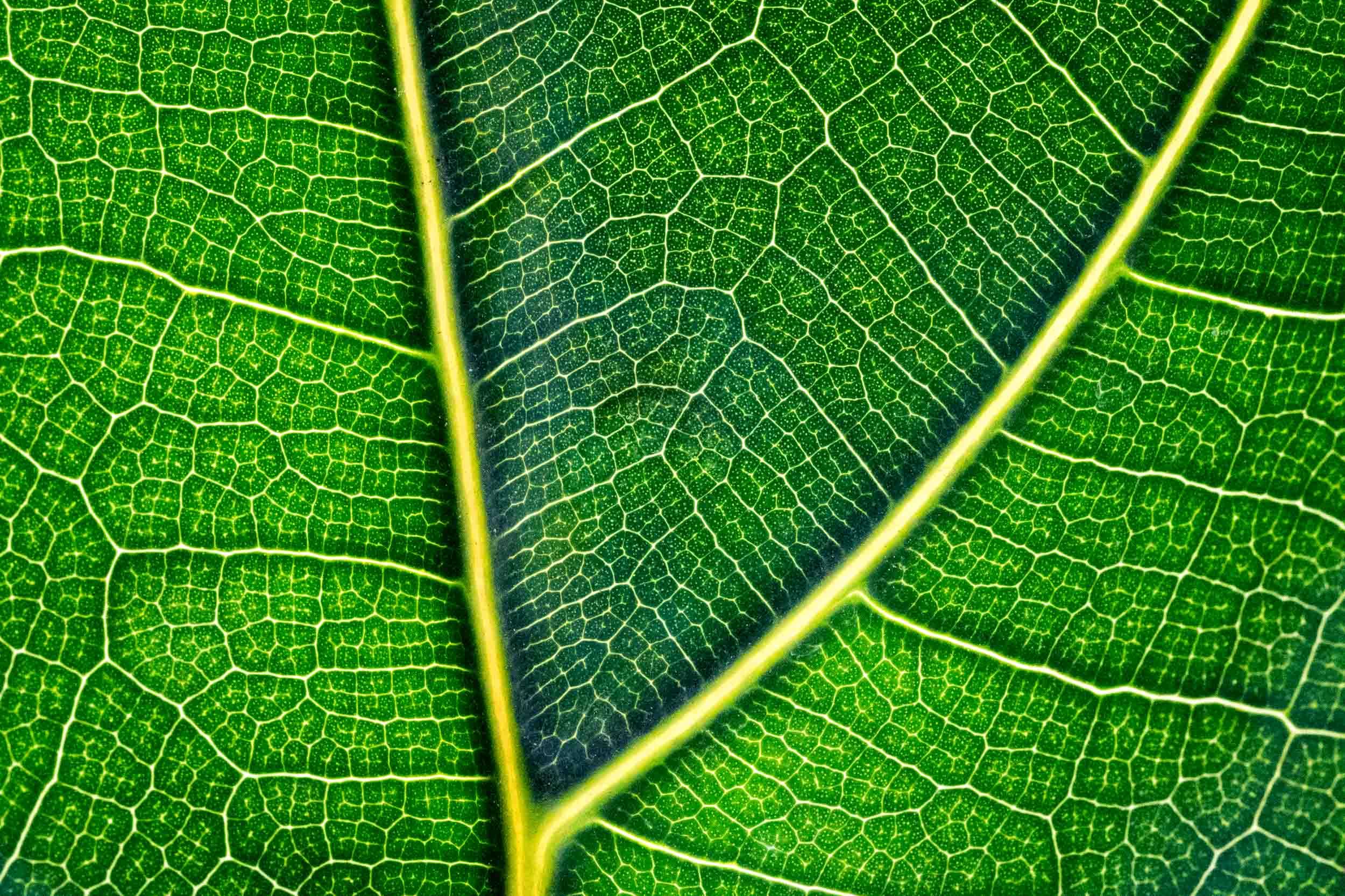 """""""Fiddle Leaf Fig"""", Tower Hill Botanical Garden"""
