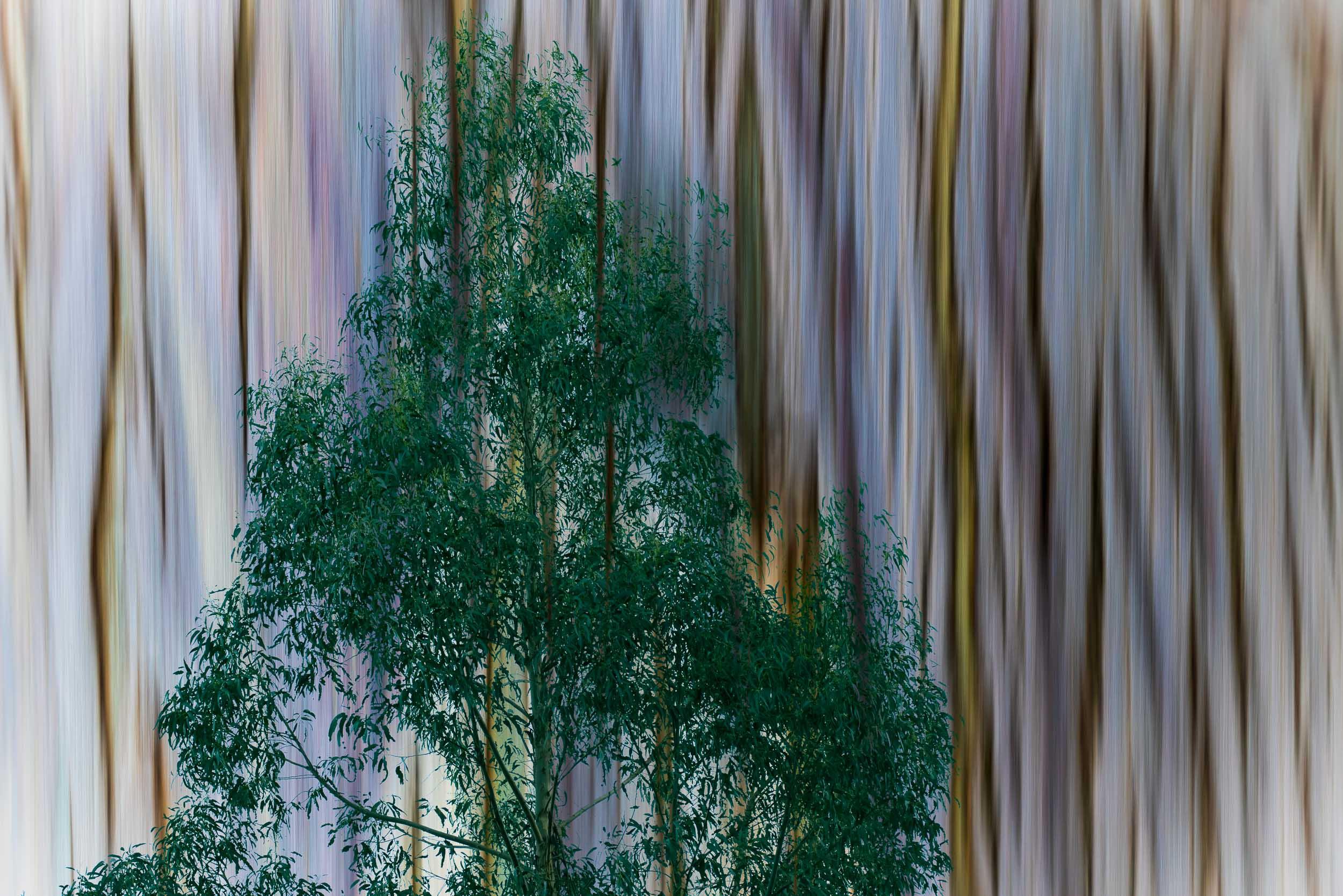 """""""Eucalyptus Tree and Bark"""", CA"""