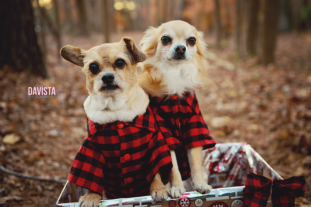 tips for posing dogs for Christmas photography