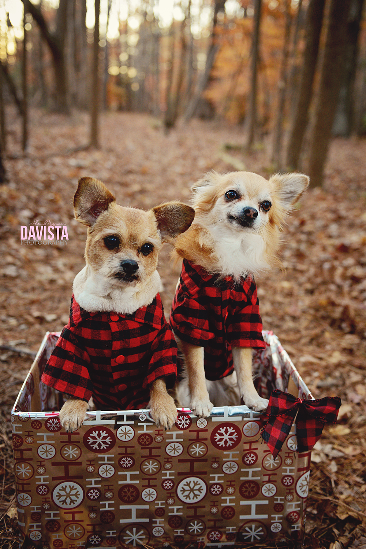 puppy dog Christmas photos