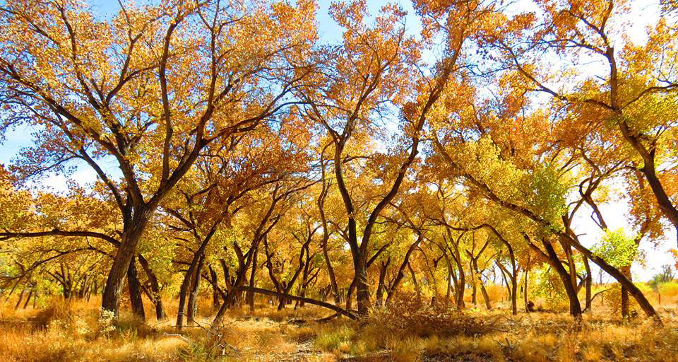bosque-goldentrees.jpg