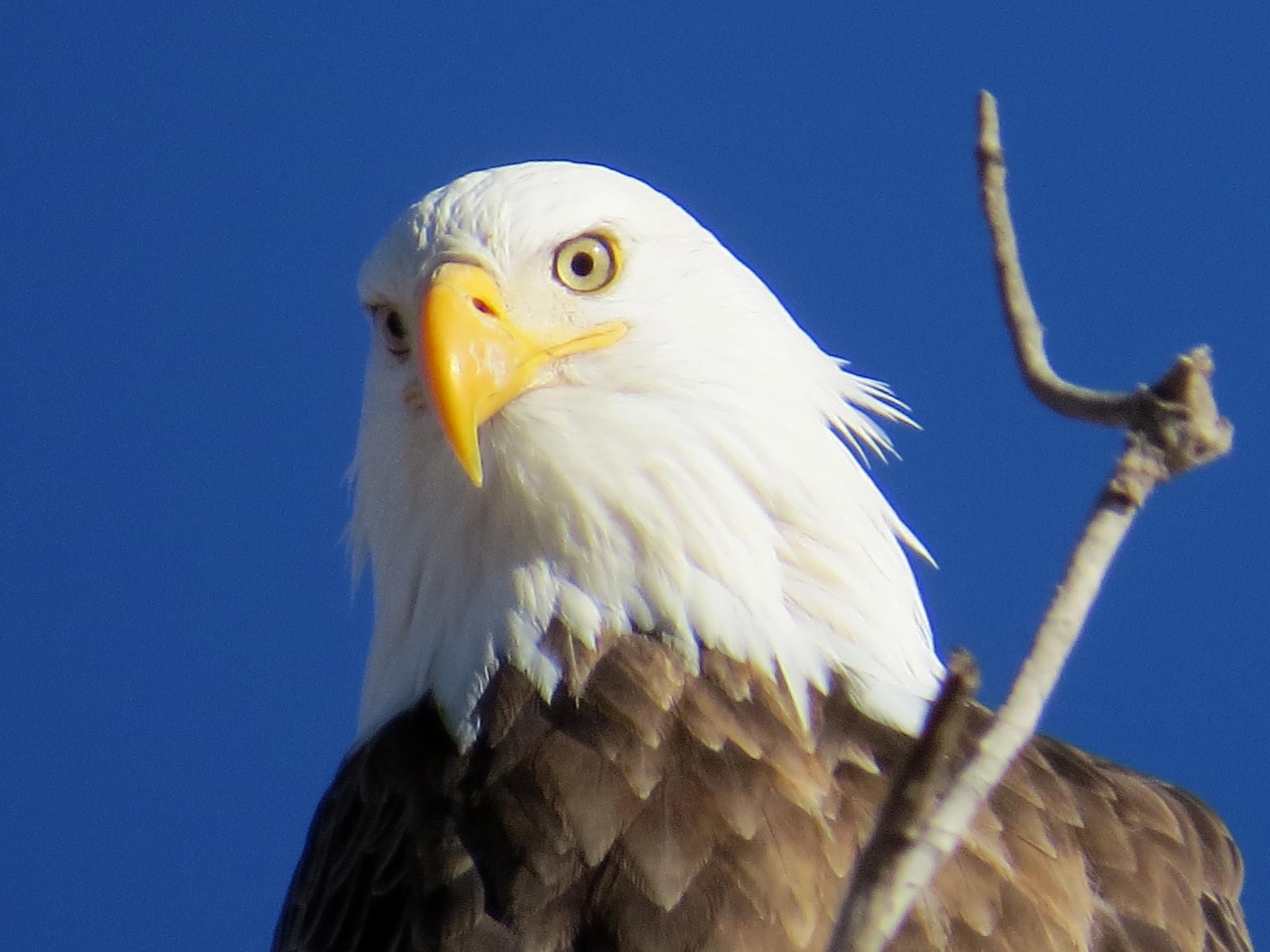 bald eagle xmas.jpg