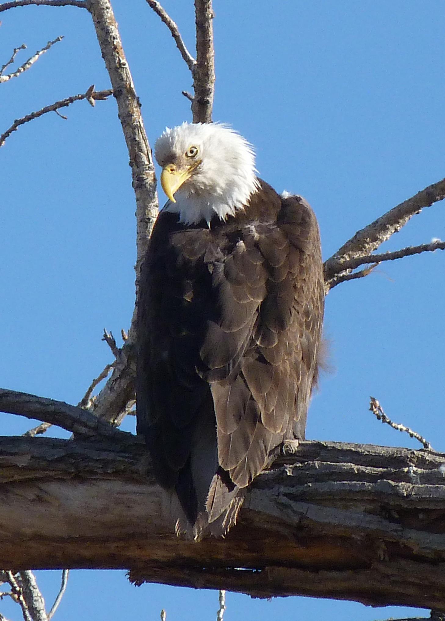 bald eagle6.jpg