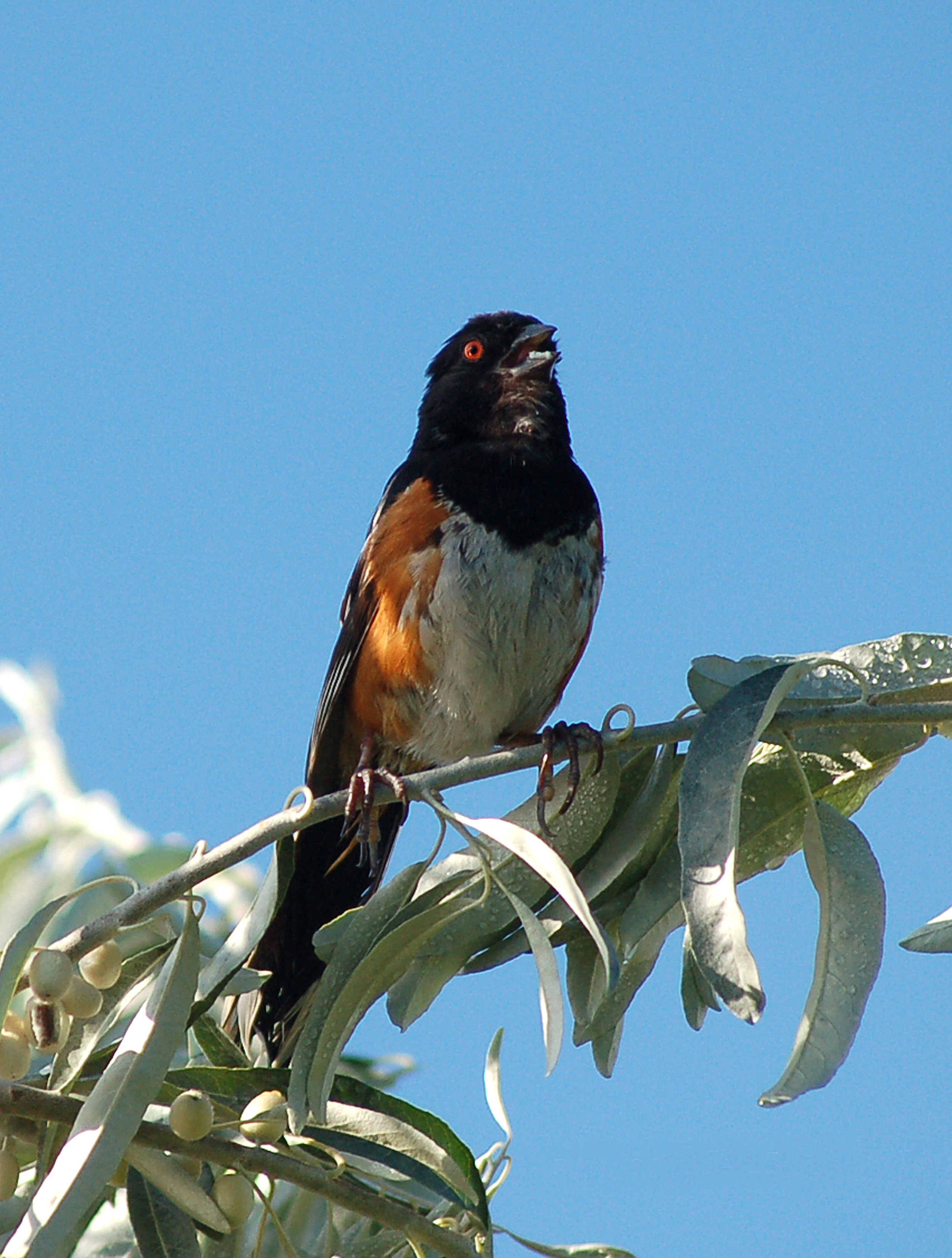RUFOUS SIDED TOWHEE 2+++++ (1).jpg