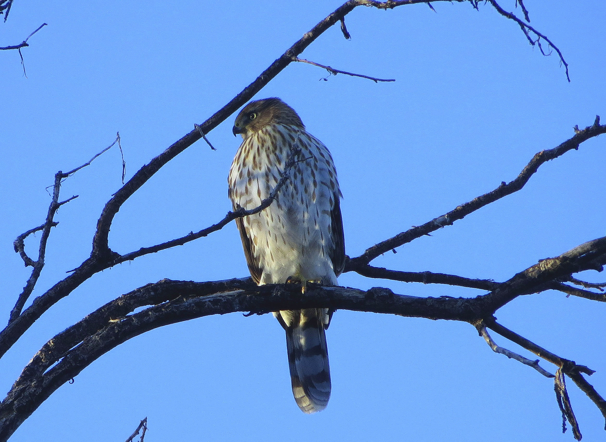 Cooper's Hawk Profile2++++.jpg