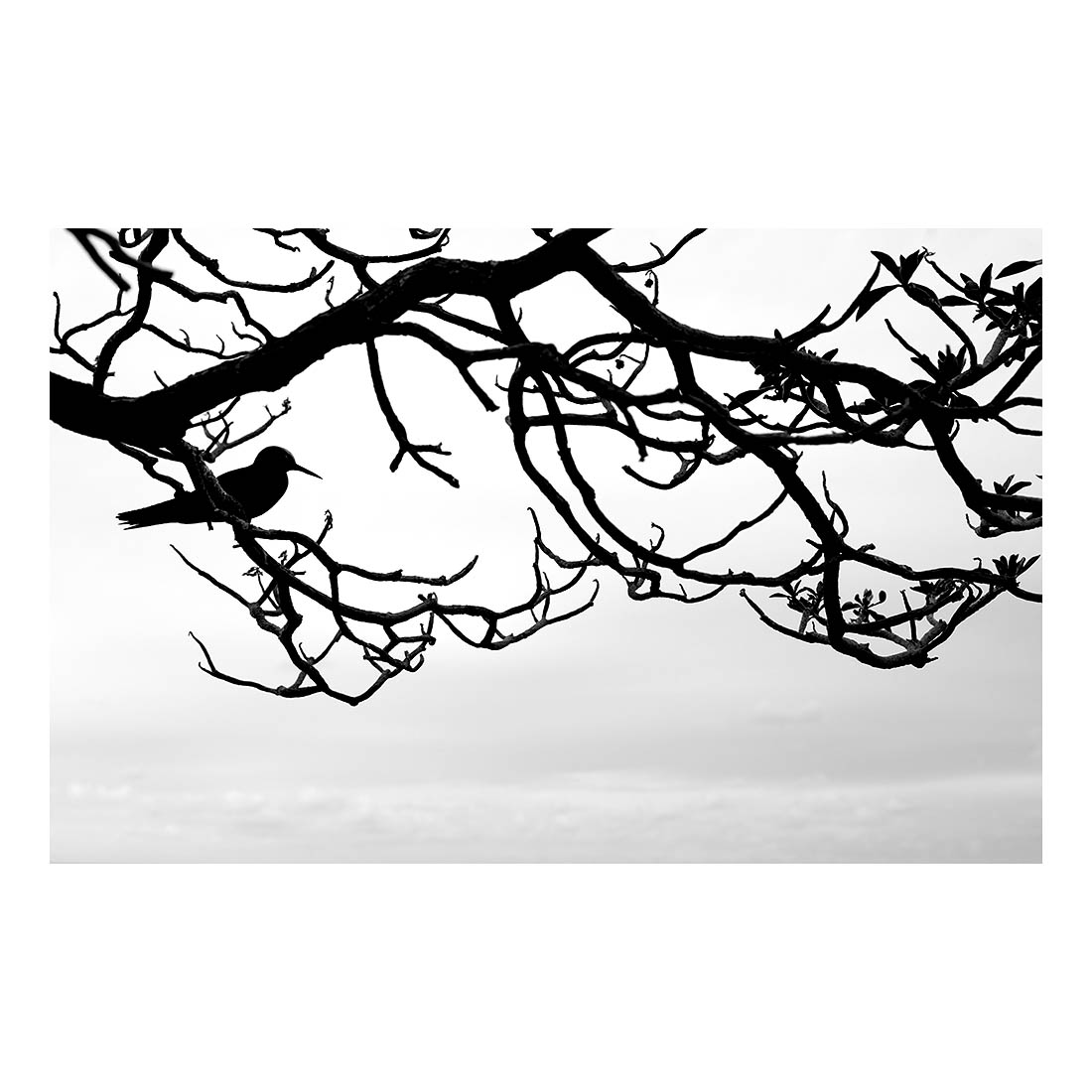 Noddies on Heron #03   (2016) 65cm x 100cm Archival pigment print on bamboo Edition of 10 + 2AP