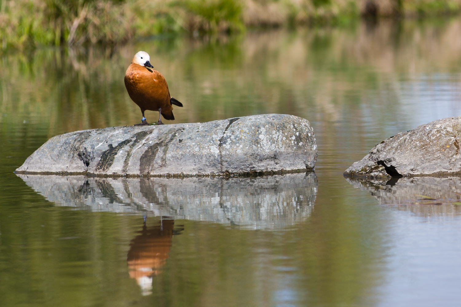 Cropped in and up close on the Ruddy Shelduck