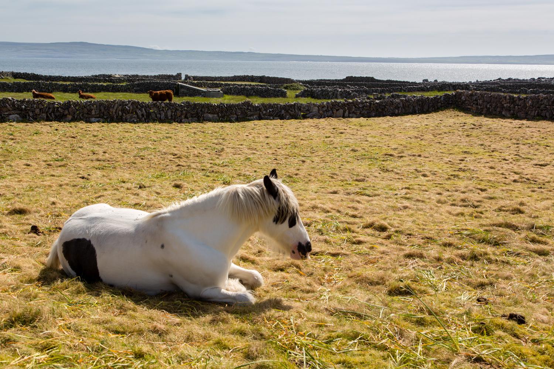 A local horse