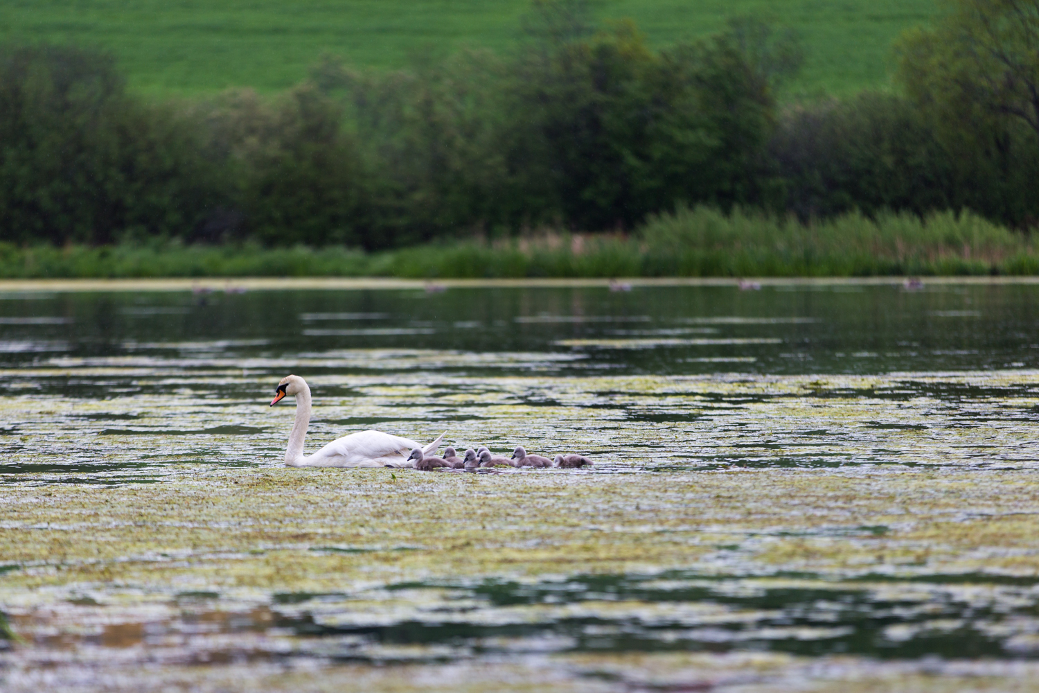 A mother swan and her cygnets