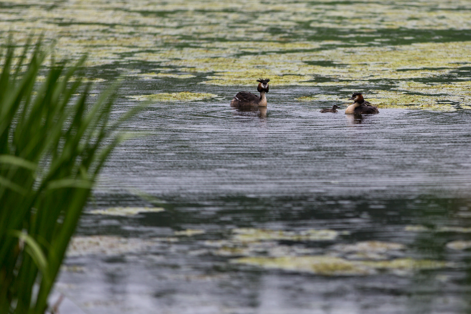 Great Crested Grebes giving the little one a swimming lesson.