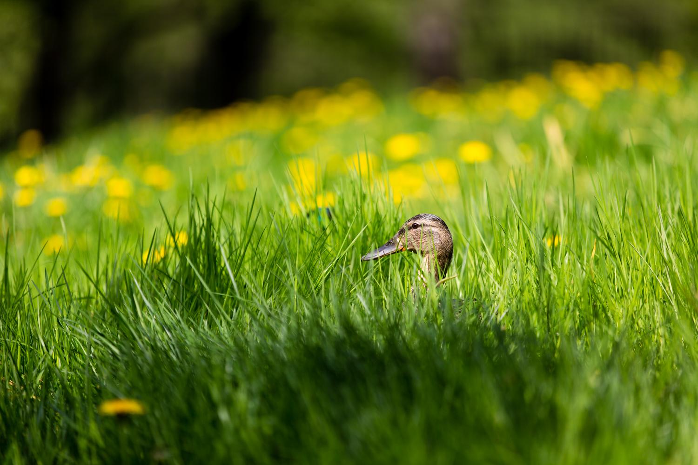 Mother Duck (Mallard) sitting on the nest.