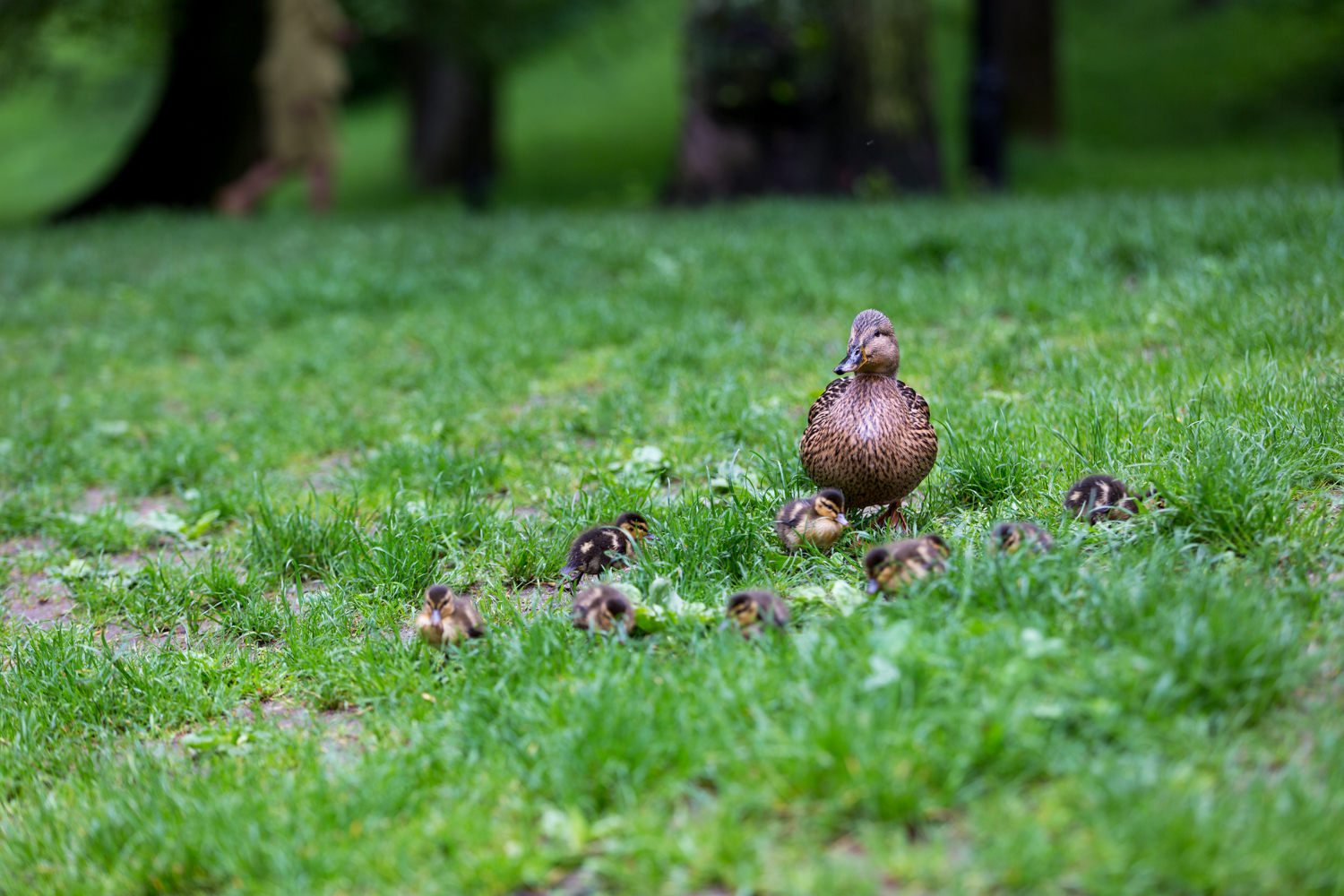 Mother Mallard and her ducklings; all eight of them.