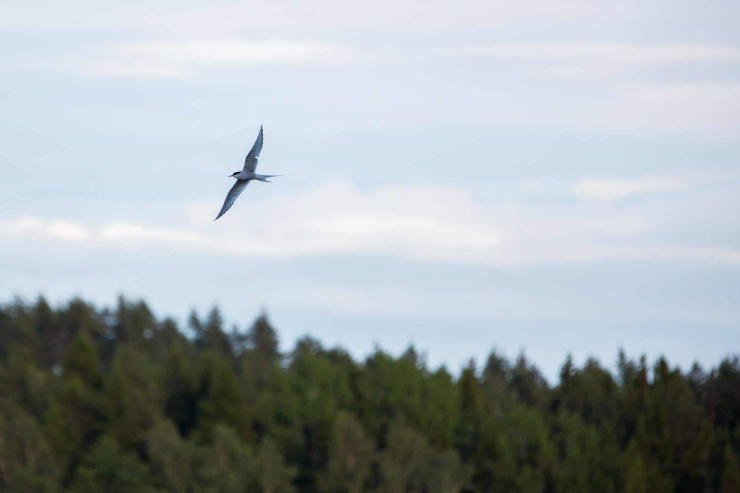 An Arctic Tern looking for lunch
