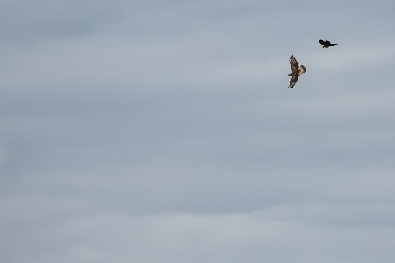 Rough-Legged Buzzard and a Raven