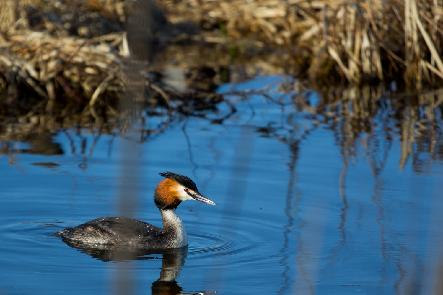 Mrs. Great Crested Grebe from the pair in the first picture