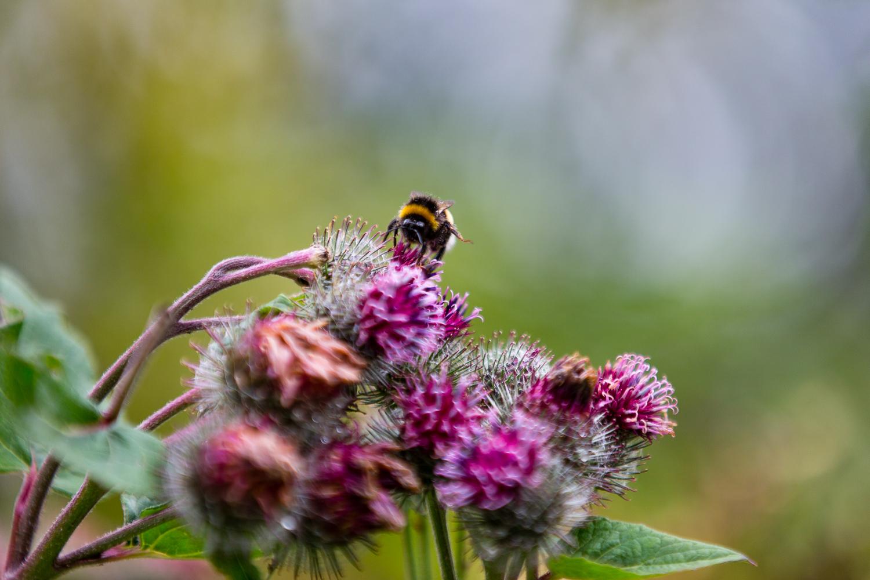 Full frame bumblebee. Canon 5dmkii f/2.8 Canon 70-200mm f/2.8